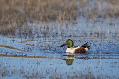 """Glatz Nature Photography posted a photo:  Photographing shovelers can be like playing Whack-a-Mole. They don't keep their heads above water for very long; as """"dabbling ducks"""" they feed with their heads in the water and their rear ends up above the surface. We were fortunate to spot this male Northern Shoveler (Anas clypeata) with his gorgeous green head up, and in a spot of soft morning light, in a calm and quiet (no there were no Snow Geese there LOL) part of the pond. Bosque del Apache…"""