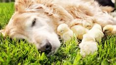 Sweet Photos of Champ The Happiest Dog in the World with Baby Chicks