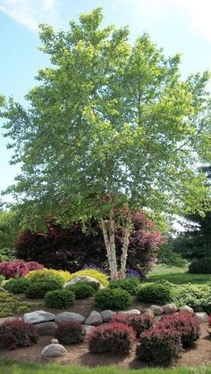 River Birch Live Stakes - What You Need To Know About Gardening Landscaping Supplies, Home Landscaping, Front Yard Landscaping, Landscaping Design, Landscaping Software, Landscaping Contractors, Florida Landscaping, Corner Landscaping Ideas, Inexpensive Landscaping