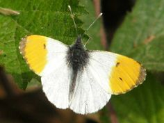 Butterfly Conservation - Sussex Branch - Sightings and News