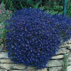 50 Bright Blue Rock Cress AUBRIETA FLOWER SEEDS / Evergreen Perennial / Deer Resistant