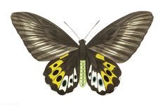 Papilio panthous or Green birdwing (female ventral side) illustration from The Naturalist& Miscellany by George Shaw Butterfly Illustration, Creative Illustration, Free Illustrations, Butterfly Painting, Butterfly Art, Butterflies, Social Media Images, Handmade Frames, Vintage Butterfly