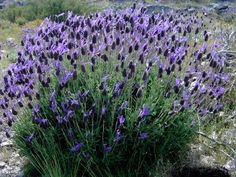Lavandula stoechas (Spanish Lavender). Early-blooming compact shrub with grey-green foliage and pine-cone-shaped flowers with dark-purple bracts  (late spring to summer). Moderately fertile, well-drained soil. Grow in full sun in protected area. Attracts butterflies, deer tolerant.