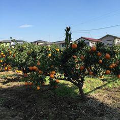 Orange trees in Tokyo.