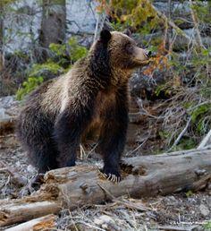 Yellowstone National Park Wildlife | yellowstone wildlife safari march 24th 2010 by park county travel ...