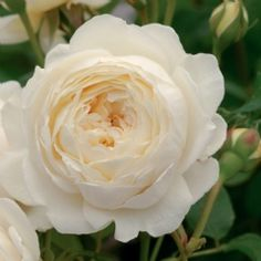 We carry the latest and best varieties of David Austin English Roses for our climate. David Austin English roses are characterized by their bushy growth Claire Austin Rose, Rosas David Austin, David Austin Rosen, Bed Of Roses, Buy Roses, Rosen Beet, Rooting Roses, Parfum Rose, Garden Shrubs