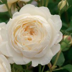 Claire Austin - David Austin Roses gefüllt, Duftrose, winterhart, stark duftend nach Myrrhe, mit Nuancen von Meadowsweet, Vanille und Heliotrop