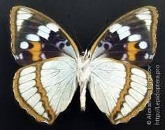 Image result for lamasia lyncides butterfly