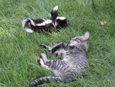 The beginning of Pepe le Pew and his love for cats: