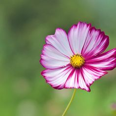 ~~ Cosmos Flower ~~Maggies Birth Month, I can see the differnet lines for a tattoo :) I love the pink..