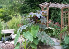 My tropical Oasis in WI! thanks to Castor bean seeds and Elephant Ear Bulbs Elephant Ear Bulbs, Elephant Ears, Castor Bean Plant, Bean Seeds, Bulb Flowers, Cool Plants, Beautiful Flowers, Tropical, Landscape