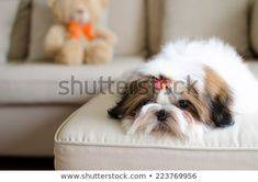 Cute shih tzu puppy in lazy day Cute Puppies, Dogs And Puppies, Doggies, All About Puppies, Teach Dog Tricks, 15 Dogs, Shih Tzu Puppy, Cool Pets, Dog Memes