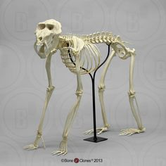 Our articulated mandrill baboon skeleton. Although they are true quadrupeds, their opposable thumb and flexible clavicles allow them to be at home in the trees. Skeleton Bones, Skull And Bones, Snow Monkey, Animal Skeletons, Animal Anatomy, Animal Bones, Nature Aesthetic, Baboon, Orangutan