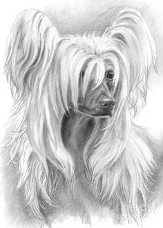 CHINESE CRESTED PAINTINGS | Chinese Crested Drawing - Chinese Crested Fine Art Print