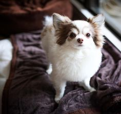#doghuggy #doghuggyhouse #dogstagram #dogofthedayjp #ドッグハギー #犬バカ部 #いぬすたぐらむ #犬なしでは生きていけません会  #犬がいる生活 #チワワ#チワワラブ