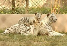 A white tigeress with her cubs basking the sun during a winter morning at #Lucknow zoo on Friday