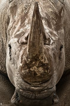 imponente Rinoceronte!