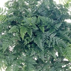 Rabbits Foot Fern- One of over 400+ varieties from Exotic Angel Plants®