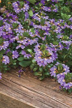 'Cajun Blue' scaevola is more compact than other scaevolas and is earlier to flower. This friendly plant plays well with others, complementing just about anything―fun with yellow, pink, or white blooms.