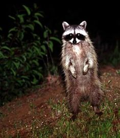How to get rid of coyotes, skunks, raccons the humane way