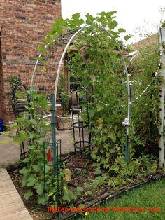 growing cantaloupe vertically – The Fervent Gardener Planting Cantaloupe, Growing Cantaloupe, Growing Melons, Arch Trellis, Garden Trellis, Tomato Pruning, Tomato Trellis, Raised Vegetable Gardens, Vegetable Gardening