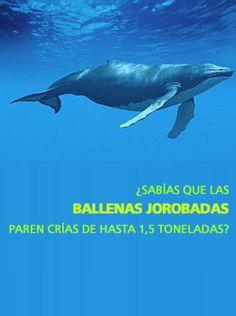 http://www.explora.cl/descubre/sabias/naturaleza-sabias/animales-sabias/4915-sabias-que-las-ballenas-jorobadas-paren-crias-de-hasta-1-5-toneladas