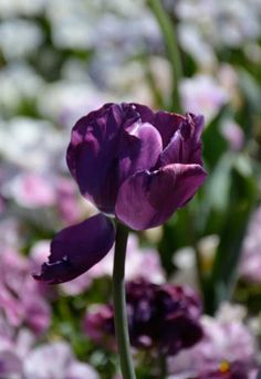 Part of the amazing display on show in the NSW Southern Highlands' Tulip Time Festival. Image: Michelle Montgomery.