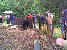 BOYCOTT South Carolina until they Outlaw Bear Baiting