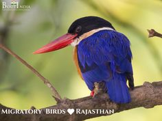 Recently it was in the news that Black-capped kingfisher has arrived at Keoladeo National Park.  It is after 15 long years that the bird has been sighted at the park.   #bird #birds #birdwatching #boutindia #wildlifetours #wildlifesafari #rajasthan #bharatpurbirdsanctuary #KeoladeoNationalPark #migratorybirds #UNESCOWorldHeritageSite #NationalPark #winterdestination #destinationindia #travel #vacation #wintervacation #holidayinIndia #Holiday #traveling #travelers