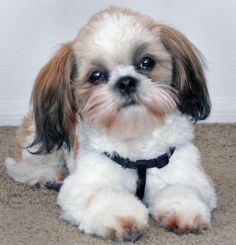 Dear Santa,   All I want for Christmas is a Tzu puppy.  Pleeeez and thank you very much!