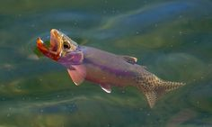 Stunning underwater trout photography, from rainbow and brook trout to brown trout, steelhead, and sockeye, featuring native habitats and rare species. Trout Fishing, Bass Fishing, Fish Chart, Fish List, Photos Of Fish, Cool Fish, Rare Species, Water Animals, Brown Trout