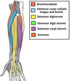 Anatomía del antebrazo. Colección de la Unidad Especializada en Ortopedia y Traumatologia www.unidadortopedia.com PBX: 6922370 Bogotá - Colombia.
