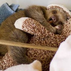 Oh. My. Goodness. Baby sloths are the best!