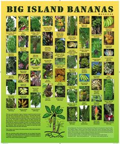 50 Hawaiian Banana varieties from the Big Island of Hawaii! How many have YOU tasted?? So many things yet to discover... :] *click image to go to larger version of poster/purchase poster if desired