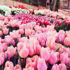 Pink And Red Tulips beautiful flowers floral beauty tulips Deco Floral, Arte Floral, May Flowers, Beautiful Flowers, Pink Flowers, Nature Rose, Mother Nature, Planting Flowers, Floral Arrangements