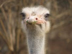 MYTH: Ostriches hide by putting their heads in the sand.