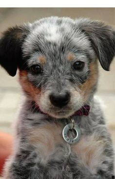 In This site you can search all pets breed information,cute cats,cute dogs ,cute puppies and kittens picture etc. Cute Baby Animals, Funny Animals, Easy Animals, Cute Puppies, Dogs And Puppies, Doggies, Poodle Puppies, Cute Puppy Pics, Unusual Dog Breeds