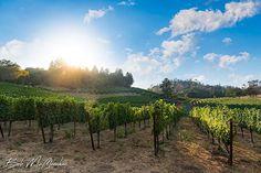 Cimarrosa vineyard