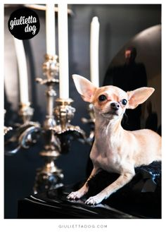 Ready for a candle light's dinner <3 <3 #goodevening #dinner #candlelight's #totalblack #giuliettalovers #fashionchihuahua #style