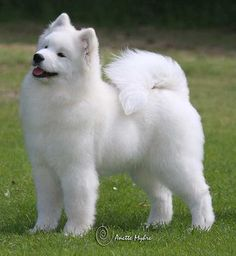 Samoyeds are gorgeous. I've always wanted a fluffy dog.