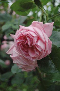 Large-flowered Climbing Rose: Rosa 'Coral Dawn' (U.S., 1952)