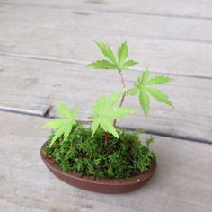 観葉植物、多肉植物を育てる人が多い中、最近は【盆栽】の魅力にハマる人が増えてきています。日本発祥の盆栽で自然と四季を感じてみませんか??