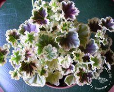Пеларгония Annsbrook Mulberry Blotch