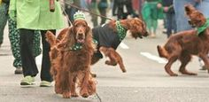 What better canine for the St. Patrick's Day Parade? The Irish Setter Club of Seattle joined the 2008 procession.