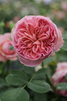 ~Chelsea show-stoppers - Rose 'Boscobel' Named for the 17th century Shropshire house, this David Austin English Rose was launched at Chelsea in 2012. It has classically 'quartered' blooms with strong scent and repeat flowers throughout the summer. Photo by Jason Ingram.