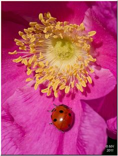 ladybug on a single pink rugosa rose  http://www.arcreactions.com/