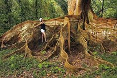 Árvore com raízes incríveis, Costa Rica.