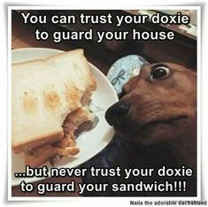Would you trust your dachshund or any pet family member to guard a sandwich? Dachshund Funny, Dachshund Love, Funny Dogs, Funny Animals, Cute Animals, Dachshund Quotes, Weenie Dogs, Doggies, Chihuahua Dogs
