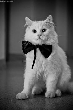 bow tie in the cat