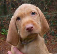 Wirehaired Hungarian Vizsla Puppies | All Puppies Pictures and ...